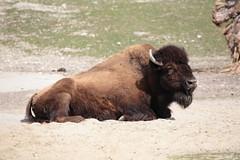 Waldbison (Harald Kobmann) Tags: waldbison bison büffel tierpark hellabrunn münchen