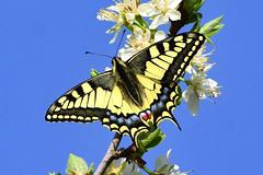 DSC_0566 Machaon (sylvette.T) Tags: papillon insecte butterfly 2019 nature fleurs machaon cielbleu grandportequeue swallowtail