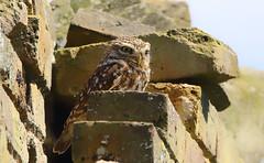 Little Owl (saundersfay) Tags: littleowl raptor feathers bird prey talons marshharriers yellowwagtail birds predators owl harrier horse