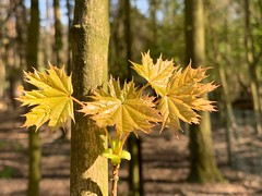 A quarter of an hour of spring is worth more, than a sack of gold. (ahmBerlin) Tags: forest wald tree baum blätter leaves spring frühling sprout triebe natur nature iphonexs