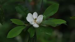 Sweet Bay Magnolia (bamboosage) Tags: takumar 200 35 preset m42