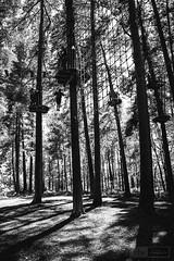 Splendid Isolation (barpilot) Tags: mono trees platform shadows light shade sun delamere forest