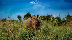 """""""Rinoceronte branco do sul"""", Kruger National Park, Africa do Sul (Ceratotherium simum) (paulomarquesfotografia) Tags: rinoceronte branco do sul kruger national park africa ceratotherium simum sony a230 sal 70300mm paulo marques rhino african rhinoceros africano south vida selvagem vidaselvagem wild life wildlife animal animale big five cinco grandes ceu sky savana vegetação field zoom aproximação grande distancia focal telefoto telephoto"""