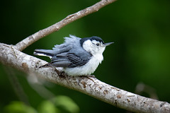 140A1961 (Ricky Floyd) Tags: whitebreastednuthatch canon