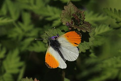 Oranjetipje - Anthocharis cardamines 130519 (johnv2400) Tags: oranjetipje anthocharis cardamines