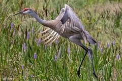 Adult sandhill crane. (zachzombiesphotos) Tags: birding animalphotography wildlifephotography crane sandhillcrane animal wildlife bird