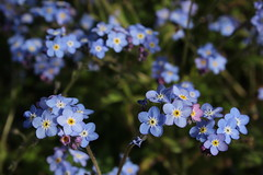 Spring Blues (mcginley2012) Tags: flowers spring2019 springflower forgetmenot nature blue closeup bokeh