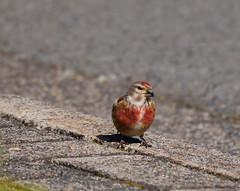 P1870917-Bluthänfling-Männchen (Bine&Minka2007) Tags: bluthänfling singvögel songbirds bird vogel strase finken sperlingsvögel