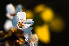 Cherry Blossom (Theo Crazzolara) Tags: cherryblossom cherry blossom blooming spring kirsche frühling garden bautiful natural nature organic sun sunset light backlight bokeh macro closeup sweet flower flora