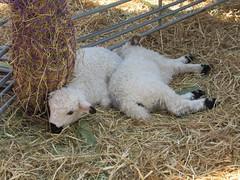 Holiday Saturday, 20th, Gemma's Farm IMG_5866 (tomylees) Tags: gemmasfarm witham essex grovecentre april 2019 20th saturday project 365 easter