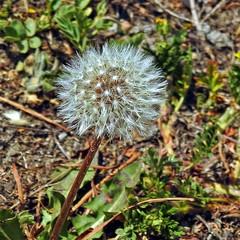 Dandelion !! (Lopamudra !) Tags: lopamudra lopamudrabarman lopa flora flower dandelion trek trekking himalaya himalayas amritganga amritgangavalley garhwal india nature uttaranchal uttarkhand uttarakhand beauty beautiful