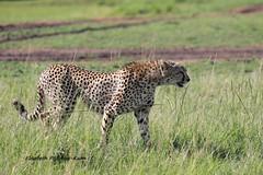 4J7A4152_Guépard (Puce55-Elisabeth,) Tags: guépard animal faune afrique kenya masaï wildlife nature