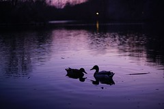 Ducks' serenade (Nathalie_Désirée) Tags: dusk duck ducks bird water waterscape reflection shadow evening serene beautiful amazing lovely harmony beuty nature outdoors lake peace peaceful badenwuerttemberg badenwürttemberg germany march maxeythsee sonyalpha7r2 sonyalpha7rii sonyα sonyαmo sonyamo