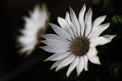 I think it's a daisy.. (Emma Yeardley) Tags: thinkitsadaisy flower flora pretty whiteflower macro closeup d7500 daisy itisadaisy africandaisy osteospermum nikon