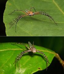 """LADIES and GENTLEMEN, BOYS and GIRLS!"" - Lynx Spiders (Hamadruas sikkimensis, Oxyopidae) (John Horstman (itchydogimages, SINOBUG)) Tags: spider arachnid china yunnan macro itchydogimages sinobug collage mosaic lynx oxyopidae boysandgirls hamadruas sikkimensis hamadruassikkimensis"