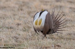 Greater Sage-Grouse (Centrocercus urophasianus) - Colorado (bcbirdergirl) Tags: greatersagegrouse grouse colorado birdsofcolorado usa chickenrun coloradochickenrun birding centrocercusurophasianus gamebird gamebirds lekking lek matingritual display courtship