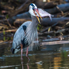 2019.04.06.7692 Big Bite II (Brunswick Forge) Tags: 2019 virginia jamesriver richmond water woods trees forest animal animals animalportraits outdoor outdoors bird birds wildlife nature cloudy rain spring nikkor200500mm nikond500 greatblueheron heron gbh river favorited commented grouped