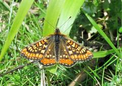 Marsh Fritillary (brianwaller703) Tags: marsh fritillary