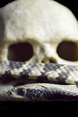 DSC_0996 (2)cobra (kathbrady1) Tags: snake python corn