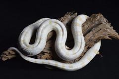 DSC_0902 (2) (kathbrady1) Tags: snake python corn