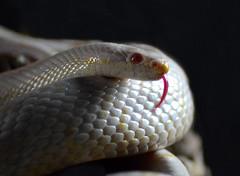 DSC_0890 (2)python2 (kathbrady1) Tags: snake python corn