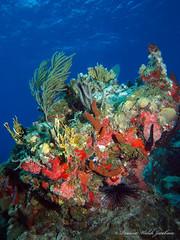 usvi 19 P3202175a sm (Pauline Walsh Jacobson) Tags: ocean life sea water animal coral marine underwater dive scuba diving stjohn atlantic tropical caribbean reef pauline vi stthomas walsh virginislands seacreature usvirginislands usvi jacobson