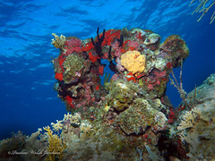 usvi 19 P3202171a sm (Pauline Walsh Jacobson) Tags: tropical marine sea life water atlantic ocean scuba diving dive seacreature coral reef underwater animal usvirginislands virginislands stthomas stjohn usvi vi caribbean pauline walsh jacobson