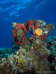 usvi 19 P3202169a sm (Pauline Walsh Jacobson) Tags: tropical marine sea life water atlantic ocean scuba diving dive seacreature coral reef underwater animal usvirginislands virginislands stthomas stjohn usvi vi caribbean pauline walsh jacobson