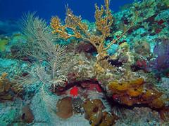usvi 19 P3202156a sm (Pauline Walsh Jacobson) Tags: tropical marine sea life water atlantic ocean scuba diving dive seacreature coral reef underwater animal usvirginislands virginislands stthomas stjohn usvi vi caribbean pauline walsh jacobson