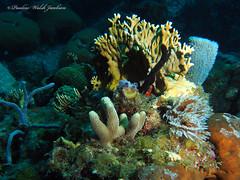usvi 19 P3202124a sm (Pauline Walsh Jacobson) Tags: tropical marine sea life water atlantic ocean scuba diving dive seacreature coral reef underwater animal usvirginislands virginislands stthomas stjohn usvi vi caribbean pauline walsh jacobson