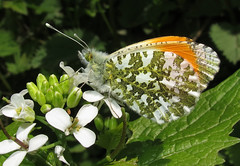 Orange-tip - Anthocharis cardamines (Over 5 million views!) Tags: butterflies butterfly insect uk pieridae orangetip anthochariscardamines egg