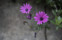 Purple Daisy (Mónica_11) Tags: mónicapinhofotos mónicapinhophotos mónicapinhofotografia mónicapinhophotograhy mónicapinho roxo flores floresroxas malmequer purple flower malmequeres beautifulflowers art pic daisy cute flowers photo nature naturephotography purpledaisy purpledaisies beautifuldaisies beautifuldaisy cuties picofday insta likes4likes like4like daisies instalikes instalike instafollow instadaily instagood followme picoftoday beautiful likesforlikes likeforlike photooftheday photographer photograph photography