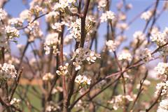 Blossoms and Bokeh - Fuji Provia 100F (Radical Retinoscopy) Tags: blossoms tree bokeh transparency film analog analogphotography minoltasrt101 minolta rokkor58mmf12 minoltarokkor spring flowers floweringtree