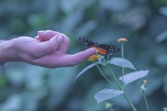 3C4A2340 (alfredthomas1) Tags: butterfly finger insect frontfocus hand plant flower