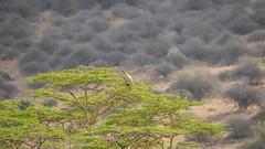 Nairobi-Nationalpark-April-9103 (ovg2012) Tags: africa africanwhitebackedvulture afrika canon gypsafricanus kenia kenya nairobinationalpark reisefotografie safari weisrückengeier wildlife animal nature travelphotographer wild wildlifephoto wildlifephotography