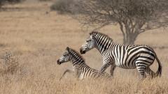 Nairobi-Nationalpark-April-9348 (ovg2012) Tags: africa afrika canon commonzebra equusquagga kenia kenya nairobinationalpark reisefotografie safari steppenzebra wildlife animal nature travelphotographer wild wildlifephoto wildlifephotography