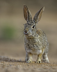 Western Cottontail-2223 (Eric Gofreed) Tags: