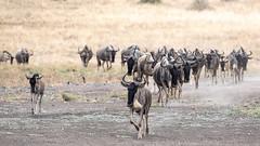 Nairobi-Nationalpark-April-0087 (ovg2012) Tags: africa afrika canon connochaetes gnu gnus kenia kenya nairobinationalpark reisefotografie safari wildebeest wildlife animal nature travelphotographer wild wildlifephoto wildlifephotography