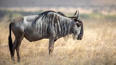 Nairobi-Nationalpark-April-0443 (ovg2012) Tags: africa afrika canon connochaetes gnu gnus kenia kenya nairobinationalpark reisefotografie safari wildebeest wildlife animal nature travelphotographer wild wildlifephoto wildlifephotography