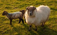 Sheep at Kilmalkader (josullivan.59) Tags: 2019 dingle europe ireland kerry kilmalkedar backlit country countryside field goldenhour green lamb light lightanddark nature peninsula sheep sunset sunsetlight travel