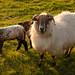 Sheep at Kilmalkader