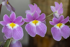 XXI Exposición de Orquídeas (José M. Arboleda) Tags: orquídea catleya flor exposición premio concurso popayán colombia canon eos 5d markiv ef70200mmf4lisusm josémarboledac