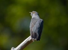 Cuckoo (wryneck94) Tags: wildlife lowlandheaths cuckoos heaths wildbirds thursley birdwatching surrey