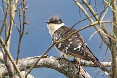 Great Spotted Cuckoo Clamator glandarius (Barbara Evans 7) Tags: great spotted cuckoo clamator glandarius extremadura spain barbara evans7