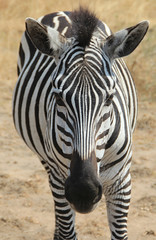Frontal View of a Zebra (Pavlo Kuzyk) Tags: zebra animal animalkingdom island safari nature africa canon