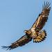 Bald Eagle (sub-adult)