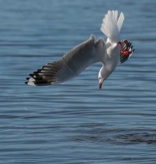 Geronimo! (m&em2009) Tags: water seagul bird feather nature dive nikon camera tamron lens fauna