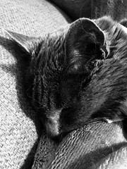 Argent's Nap 2 (sjrankin) Tags: 20april2019 edited animal cat closeup livingroom kitahiroshima hokkaido japan argent tunic nap sleep grayscale couch blanket
