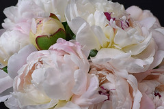 Peonies (Chickens in the Trees (vns2009)) Tags: peony flower bouquet easter blossoms blooming cutflowers close perfumed soft petals bud dreamy ethereal spring springtime