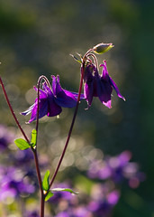 Backlight sensation (herman hengelo) Tags: akelei backlightsensation garden hengelo thenetherlands aquilegiavulgaris avondzon eveningsun macro